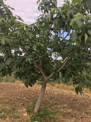 A fig tree on the farm!